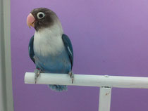 personata azul cobalto/violeta