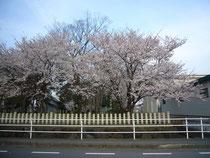 津神社のさくら