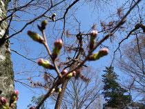 津神社の桜の蕾