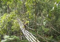 消防ホース製の吊り橋を渡るオランウータン (写真提供:ボルネオ保全トラストジャパン)