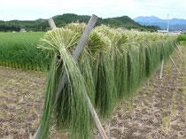 栃木のしめ縄用のイネの刈り取り。日本は古来、生物多様性とともにあったはず。(C)いさぴょん