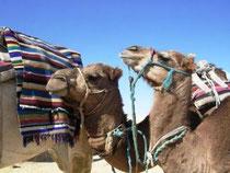 Dromadaires dans le Sahara