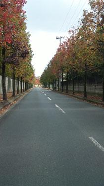 小倉競馬場横のポプラ並木
