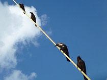 Bild: Vögel auf einer Leine