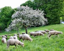 Schafbeweidung auf den Löwenburgwiesen