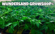 strong and healthy cannabis clones