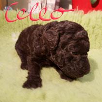 Cello 2,5 Wochen