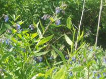 blaublühender Beinwell
