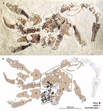 (A) Photograph and (B) interpretive drawing of LACM 129639, as mounted. Adult elements are light brown, embryonic material is dark brown, and reconstructed bones are white. lc indicates left coracoid; lf, left femur; lh, left humerus; li, left ischium; lp