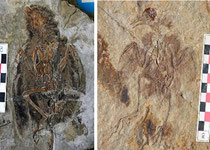 An image of fossil birds from the time of dinosaurs [left image: Eoenatiornis, right image: Hongshanornis] showing they had diverse types of leg [credit: Roger Close]