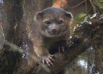 the newest species of mammal known to science, the olinguito (Bassaricyon neblina)(Photo by Mark Gurney)