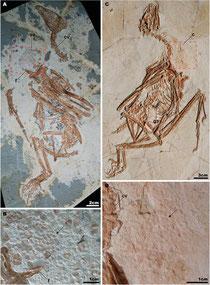 天寧自然博物館のSapeornis標本
