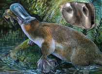 This image shows Obdurodon tharalkooschild, a middle to late Cenozoic giant toothed platypus from the the World Heritage fossil deposits of Riversleigh, Australia. At about one meter (more than 3 feet) in length and with powerful teeth (inset: the holoty