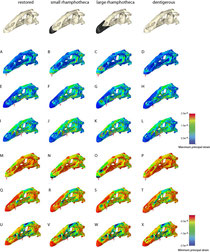 Comparisons of (A–L) Maximum principal strain and (M–X) Minimum principal straindistribution in the different skull configurations of Erlikosaurus andrewsi subjected to different bite positions.