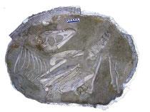 発掘時のタルボサウルス(子ども)