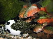 Fische, FIFA, Fußball