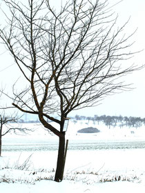 Speierling ( Sorbus domestica L.)