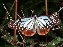 謎の蝶である。(ウィキペディア画像)