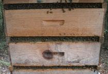 ミツバチがプロポリスを作っている様子