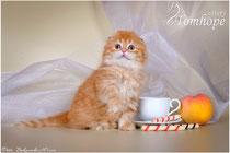 купить вислоухого котенка