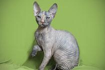 Купить котенка донского сфинкса