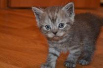 Шотландские котята в Донецке
