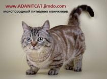 Манчкин кошка-такса купить