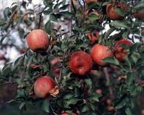 池多りんご