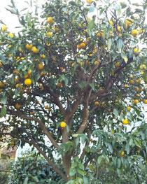 お稽古場にある柚子の木に沢山実っています。生徒さん(に限らずお会いした方々)にこの時期もぎたてをさしあげています。 今日は冬至で柚子お風呂😌♨️が楽しみです。  冬至→湯治  柚子→融通(健康)と言うことで江戸時代からの風習らしく駄洒落でこじつけですが粋な言葉遊びでお洒落ですよね。
