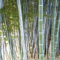 竹でできている尺八  自然なお箏との合奏