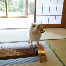琴と犬。練習の合間の癒し(普段は奥にいるので苦手な方はご安心を)
