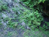 秩父古成層で有名な秩父国立公園の山中の黒鉛シリカ。