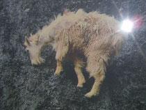TVで表示された映像から野生ヤギが断崖絶壁の粘土鉱物を食べる習性と思われる。 体内に蓄積された毒素除染の行動と推測。