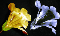 Rechts im Bild die nur im UV-Licht sichtbaren, dunklen  Nektarmale auf der Blüte. Quelle:  Plantsurfer Wikimedia 2008