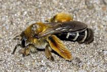 """Typische """"Hosen"""" einer Hosenbiene [zum Vergrößern bitte anklicken] Dasypoda Hirtipes Christian Fischer-Wikimedia 2010"""