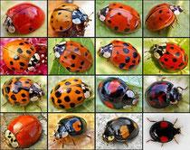 Aufgrund seiner zahlreichen Farbvarianten wird der  Käfer auch als Vielfarbiger Marienkäfer oder Harlekin-Marienkäfer bezeichnet. Quelle: Entomart - Wikimedia 2010.
