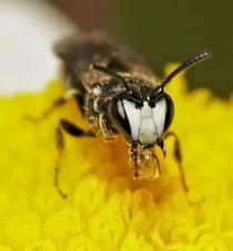 Maskenbiene [zum Vergrößern bitte anklicken] Hylaeus.nigritus-male-Sarefo-Wikimedia-2008