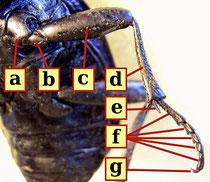 Käferbein [zum Vergrößern bitte anklicken] Siga - Wikimedia 2008