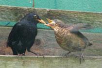 Amselvater füttert Jungvogel (T. Winkler)