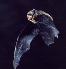 Zwergfledermaus im Flug (F. Schwab)