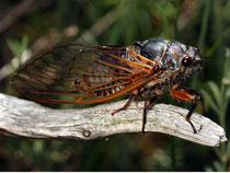 Blutaderzikade (Vincent Derreumaux, galerie-insecte.org)