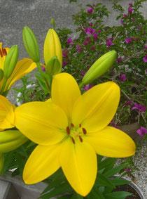 ユリとブーゲンが咲きました