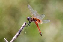 Wunderschöne Libelle ©Heinz Schmid