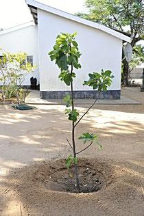Feigenbaum in meinem Garten