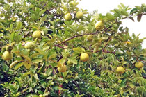 Zitronenbaum im Garten von Sibylle und Christian