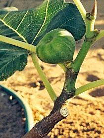 Erste Früchte an meinem Feigenbaum