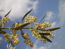 Rama de Corniche Real en flor.