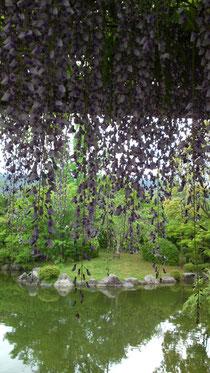 京都市美術館 裏庭の藤