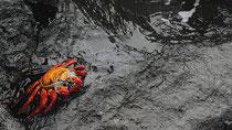 Un cangrejo saltarín de Galápagos descansa en una piedra volcánica.