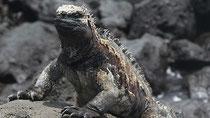 Las iguanas marinas son una de las atracciones preferidas de los turistas